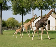 Giraffes at Punta Verde Zoo Park