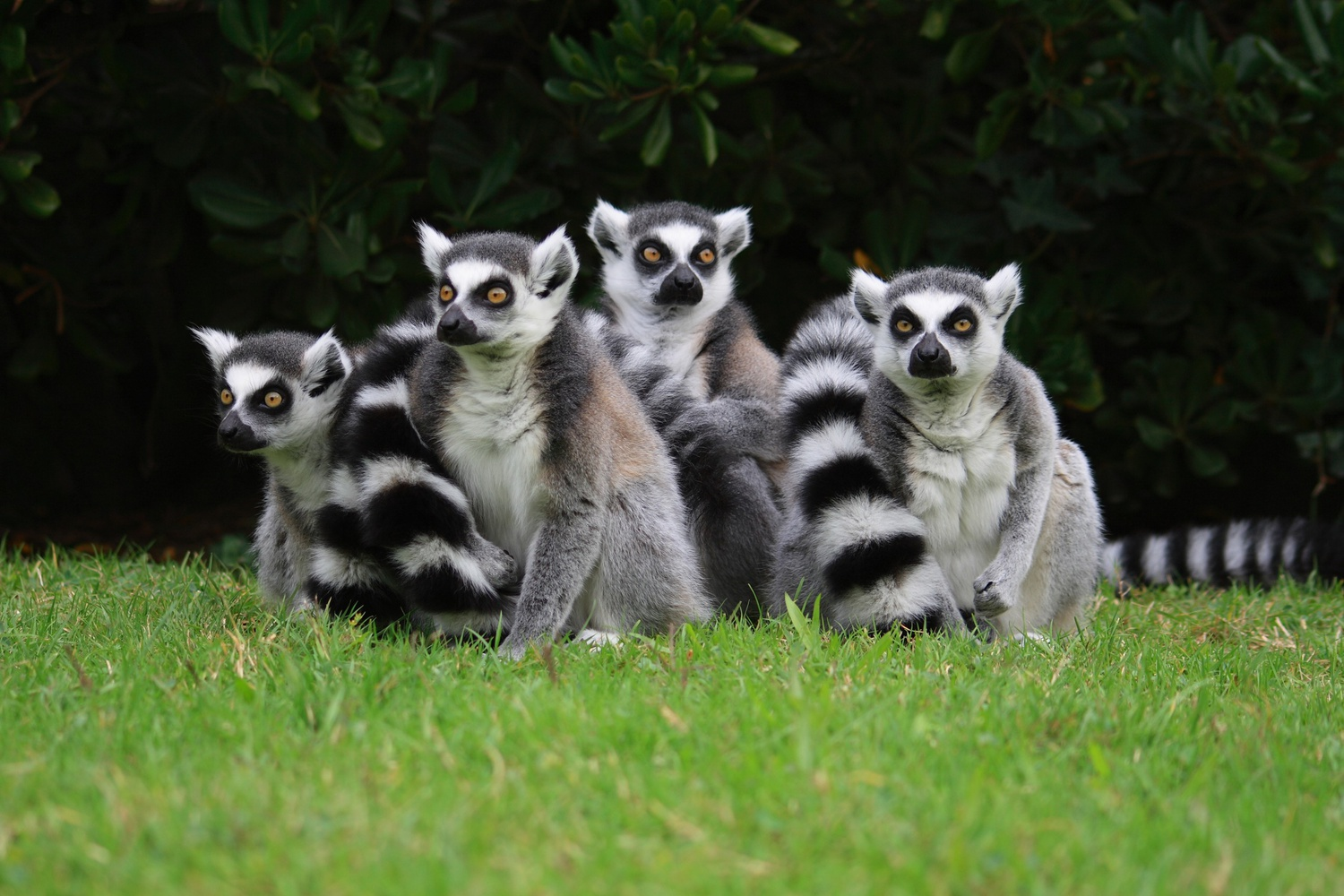 Lemurs at Lignano Zoo