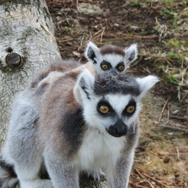 Up-close meeting with lemurs at the Zoo Park in Lignano